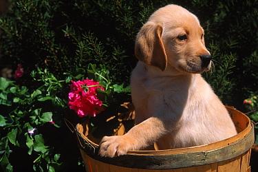 Domestic dog, Ladrador puppy (Canis familiaris) USA  -  Lynn M. Stone/ npl
