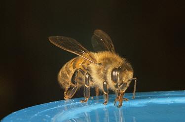 Honey bee (Apis mellifera) feeding on sugar syrup, UK  -  John B Free/ npl
