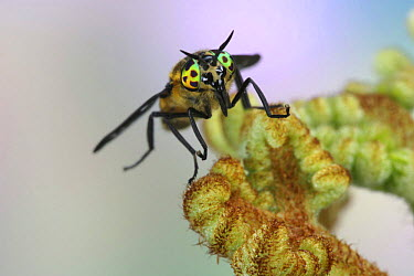 Horse Fly (Chrysops quadratus) female showing mouthparts and eyes, Europe  -  Kim Taylor/ npl