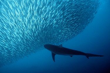 Copper shark, Bronze whaler (Carcharhinus brachyurus) predating sardine baitball,  -  Doug Perrine/ npl