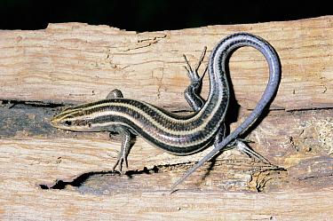 Five-lined skink (Eumeces fasciatus) Florida, USA  -  Barry Mansell/ npl