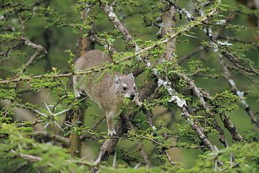 Tree hyrax (Dendrohyrax arboreus) feeding in tree, Serengeti NP, Tanzania  -  Mike Wilkes/ npl