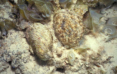Persian gulf pearl oyster (Pinctada radiata) Bahrain  -  Francis Abbott/ npl