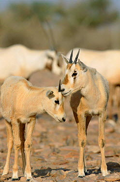 Arabian oryx young (Oryx leucoryx) Jaaluni, Oman  -  Hanne & Jens Eriksen/ npl