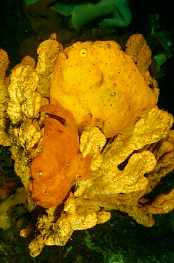 Painted frogfish pair mating (Antennarius pictus) female fish is yellow Sulawesi, Indonesia  -  Carine Schrurs/ npl