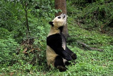 Giant panda looking upwards C (Ailuropoda melanoleuca) Qionglai Mountains Sichuan China  -  Lynn M. Stone/ npl