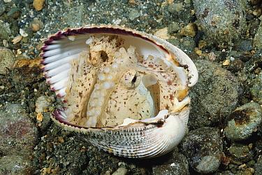 Octopus (Octopus aegina) using seashell for cover Batangas, Philippines  -  Carine Schrurs/ npl