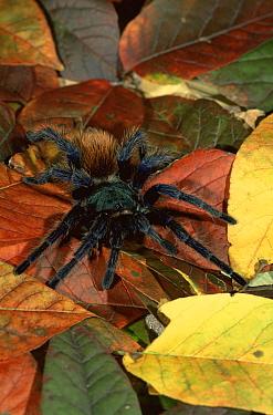 Greenbottle blue tarantula on leaves (Chromatopelma cyanopubescens) captive  -  Lynn M. Stone/ npl