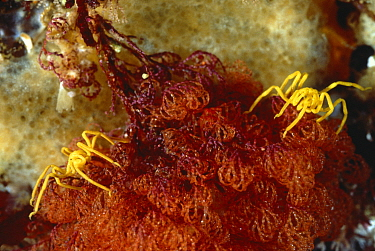 Sea spiders (Pseudopallene ambigua) on Bryozoan, Tasmania, Australia  -  David Hall/ npl