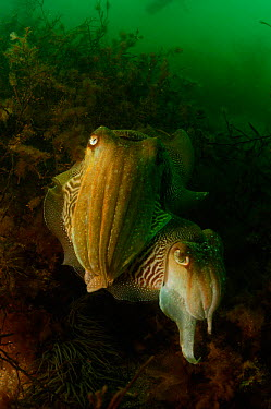 Common cuttlefish (Sepia officinalis) male guarding egg laying female Devon, UK  -  Alan James/ npl