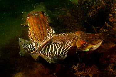 Common cuttlefish breeding behaviour (Sepia officinalis) Devon, UK  -  Alan James/ npl