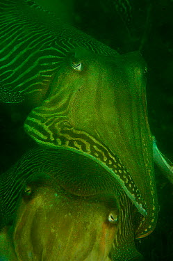 Common cuttlefish close up (Sepia officinalis) male guarding female, Devon, UK  -  Alan James/ npl