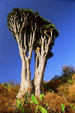 Dragon tree (Dracaena draco) twin tree, La Palma, Canary Is  -  Martin Gabriel/ npl