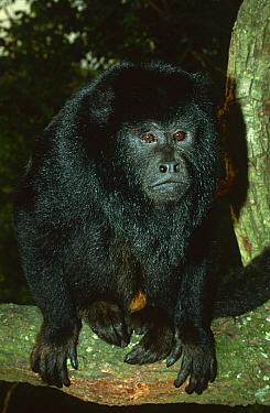 Black Howler Monkey (Alouatta caraya) Ibera Marshes Nature Reserve, Argentina  -  Ross Couper-Johnston/ npl