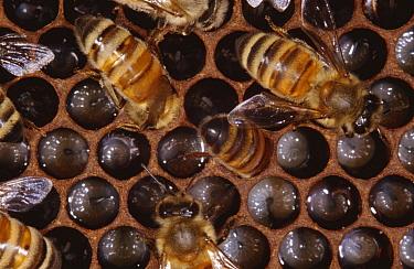 Worker Honey bees (Apis mellifera) on comb feeding larvae in nest, UK  -  John B Free/ npl