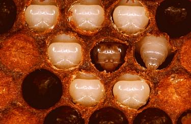 Honey bee pupae and prepupa exposed after caps removed (Apis mellifera) UK  -  John B Free/ npl