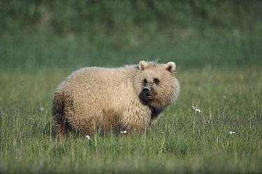 Brown Bear in sedge meadow Katmai National Park, Alaska  -  Lynn M. Stone/ npl