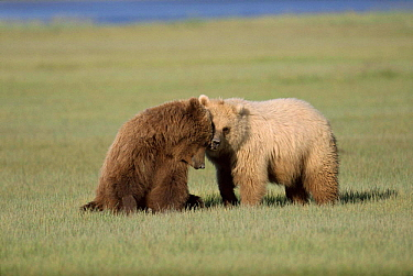 Brown Bears in sedge meadow Katmai National Park, Alaska  -  Lynn M. Stone/ npl