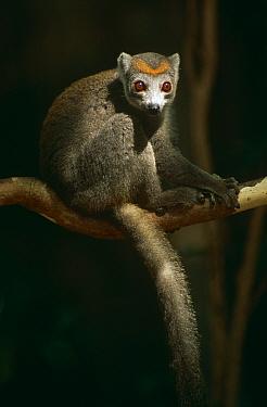 Crowned lemur (Lemur coronatus) female, Ankarana Special Reserve, Madagascar  -  Phil Chapman/ npl