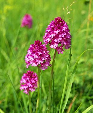 Pyrimidal orchid (Anacamptis pyrimidalis) Essex, UK  -  Mark Yates/ npl