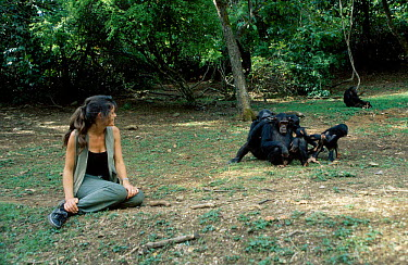 Charlotte Uhlenbroek with Chimpanzees (Pan troglodytes) Gombe NP Tanzania East Africa  -  Miles Barton/ npl