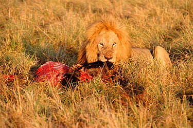 Lion feeding on Wildebeest carcass (Panthera leo) Masai Mara, Kenya  -  Carine Schrurs/ npl