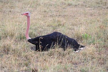 Ostrich male incubating eggs (Struthio camelus) Masai Mara, Kenya  -  Carine Schrurs/ npl