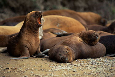 South American, Patagonian sealion pup calling (Otaria flavescens) Valdez peninsula, Argentina  -  Gabriel Rojo/ npl