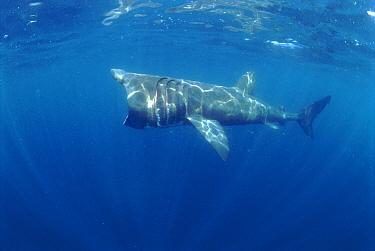 Basking shark feeding (Cetorhinus maximus) off Cornwall, UK  -  Dan Burton/ npl