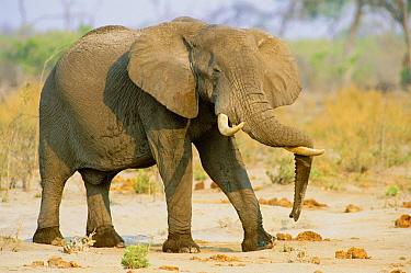 Male African elephant resting trunk over tusks (Loxodonta africana) Botswana  -  Francois Savigny/ npl