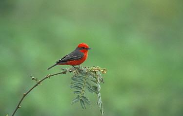 Vermilion flycatcher (Procephalus rubinus) Pantanal, Brazil  -  Hermann Brehm/ npl