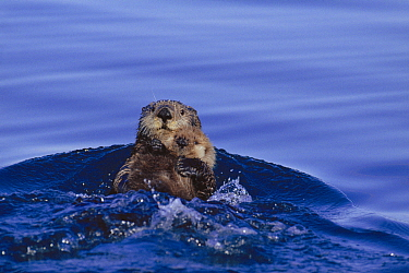Sea otter floating in water holding young (Enhydra lutris) Alaska, USA  -  Lynn M. Stone/ npl