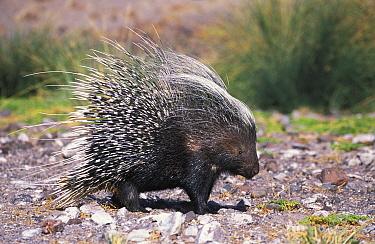 Porcupine portrait (Hystrix africaeaustralis) Damaraland, Namibia  -  Tony Heald/ npl