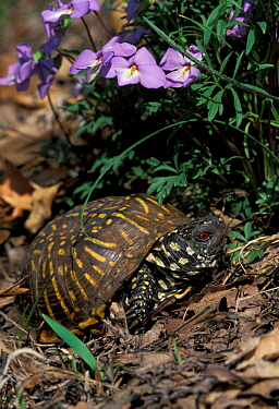 Ornate box turtle male (Terrapene ornata ornata) Illinois, USA  -  Lynn M. Stone/ npl