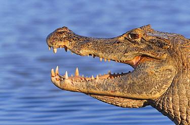 Spectacled, Jacare caiman (Caiman crocodilus) Llanos, Venezuela Hato El Frio  -  Francois Savigny/ npl