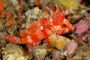 Longspine waspfish (Paracentropogon longispinis) Sulawesi Indonesia Indo Pacific  -  Constantinos Petrinos/ npl