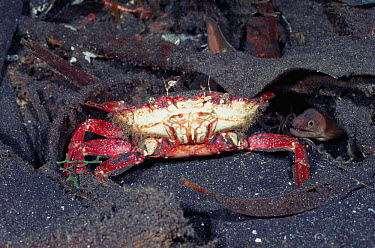 Mutilated Swimming crab (Portunidae) and tiny Moray eel, Sulawesi Indonesia Indo Pacific  -  Constantinos Petrinos/ npl