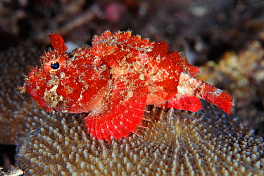 Mozambique scorpionfish (Parascorpaena mossambica) Sulawesi Indonesia Indo Pacific  -  Constantinos Petrinos/ npl