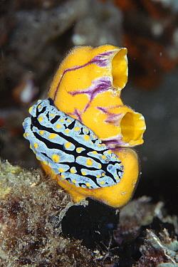 Dorid nudibranch (Phyllidia varicosa) on Ascidian (Polycarpa aurata) Sulawesi Indonesia  -  Constantinos Petrinos/ npl