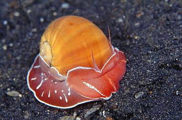 Moon snail (Naticarius orientalis) Sulawesi Indonesia  -  Constantinos Petrinos/ npl