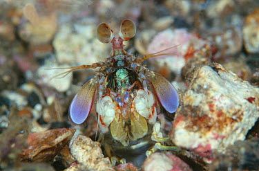 Smasher Mantis shrimp (Odontodacyylus latirostris) Sulawesi Indonesia Indo Pacific This shrimp has a punch 8,000 times faster than gravity An equivalent human punch would have a force equal to that of...  -  Constantinos Petrinos/ npl