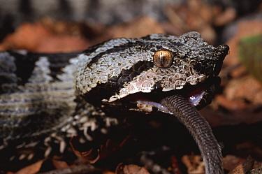 Sand viper (Vipera ammodytes) feeding on mouse, Split, Croatia  -  Tony Phelps/ npl