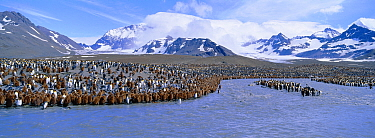 King penguin colony (Aptenodytes patagoni) adults and chicks, St Andrews Bay, South Georgia  -  David Tipling/ npl