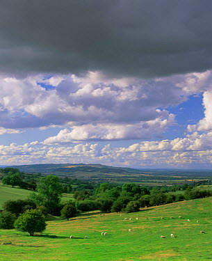 Sheep grazing in Cotswold landscape, Little Foxcote, Gloucestershire, UK 2003  -  Nick Turner/ npl