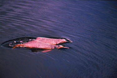 Two Bouto, Amazon pink river dolphin swimming at river surface, Mamiraua, Brazil  -  Pete Oxford/ npl
