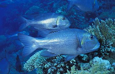 Bigeye emperor fish (Monotaxis grandoculis) Ras Mohammed, Egypt, Red Sea  -  Constantinos Petrinos/ npl