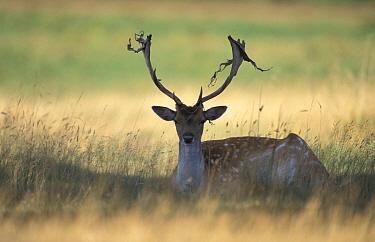 Fallow deer male shedding velvet (Dama dama) Bradgate Park, Leicestershire, UK  -  Andrew Parkinson/ npl