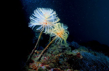 Tube worms (Sabella spallanzanii) Spain Mediterranean, feather dusters  -  Jose B. Ruiz/ npl