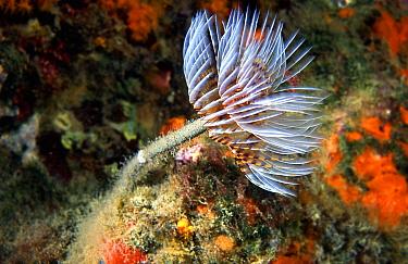 Tube worm (Sabella spallanzanii) Mediterranean, feather duster  -  Jose B. Ruiz/ npl