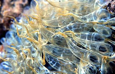 Sea anemone (Aiptasia mutabilis) close up Mediterranean  -  Jose B. Ruiz/ npl